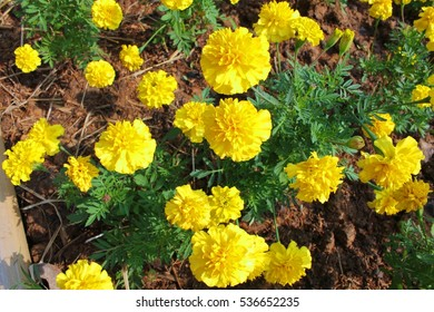 Golden yellow flowers leaves little bit stock photo edit now golden yellow flowers leaves a little bit lively a the winter marigold name that mightylinksfo