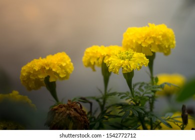 Golden yellow flowers, Thai people call marigolds. On a blurry background