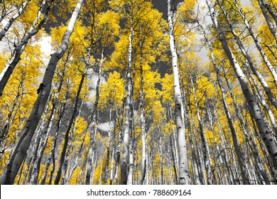 Golden yellow forest of fall aspen trees in a black and white Colorado Rocky Mountain landscape