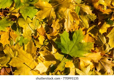 Golden yellow and green leaves of a maple tree on the ground. It is autumn season. Leaves cover soil in parks and forests. A beautiful natural carpet.