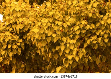 golden yellow leaf Pho leaf (Bo leaf) background in the forest bo tree is a leaf representing Buddhism in thailand.