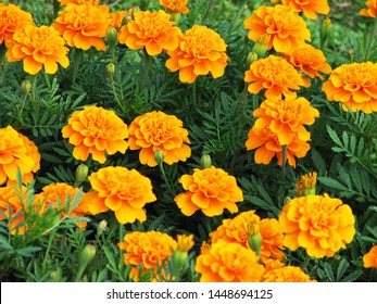 Golden yellow marigold (Tagetes patula) flowers in the field, view from above.