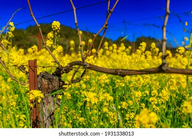 Golden yellow mustard flowers blooming between grape vines at a vineyard in the spring in Yountville Napa Valley, California, USA - Shutterstock ID 1931338013