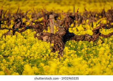 Golden yellow mustard flowers blooming between grape vines at a vineyard in the spring in Yountville Napa Valley, California, USA at sunset - Shutterstock ID 1931965535
