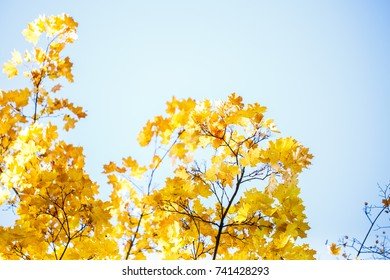 Golden, yellow and orange leaves on the blue sky. Autumn background
