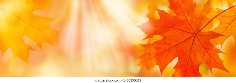 Golden yellow orange red maple leaves close-up on the blurred background. Sunlight. Bright autumn foliage background. Fall panoramic backdrop. Copy space