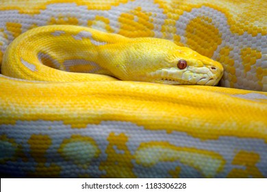 Golden yellow Python the snake