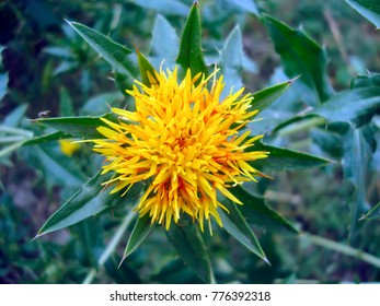 Golden yellow safflower blossom in the field