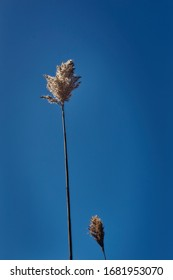 Golden yellow tall wild grass set against a deep blue sky with the sun set directly behind the seeds  causing them to glow brightly.