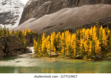 Golden yellow tamarack larch trees on the shore of a pristine alpine lake in Yoho National Park, British Columbia, Canada. Beautiful fall autumn nature scenery.