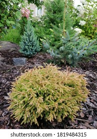 Golden yellow Thuja occidentalis Golden Tuffet on a mulch bed with other coniferous plants. Flower Wallpaper
