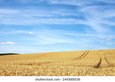 A golden yellow triticale field and blue sky.