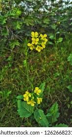 golden yellow wallflower