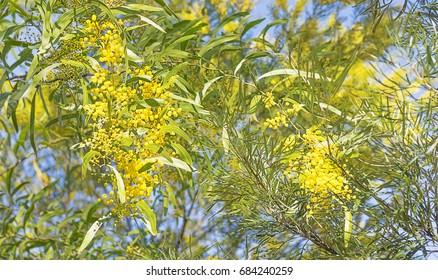 Golden yellow wattle flowers blooming in australian bush in winter
