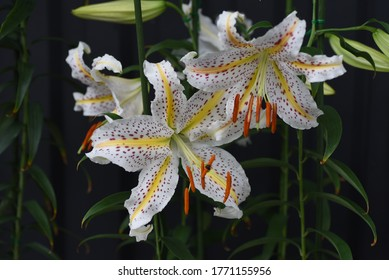 Golden-banded lily (Lilium auratum) is a Japanese lily that blooms with a strong fragrance in summer, and the bulbs are edible and medicinal.