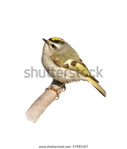 Golden-Crowned Kinglet perching on branch, isolated on white. Latin name - Regulus satrapa.