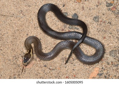 Golden-crowned Snake with tongue flickering