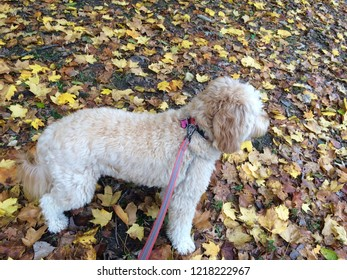 goldendoodle in the autumn leaves