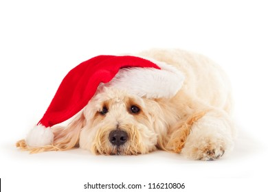 Goldendoodle with Christmas hat