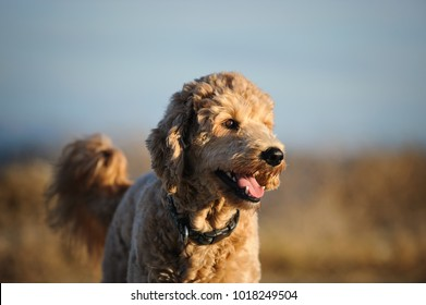 Goldendoodle cross-breed dog outdoor portrait