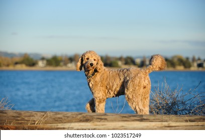 Goldendoodle cross-breed dog outdoor portrait standing by blue water