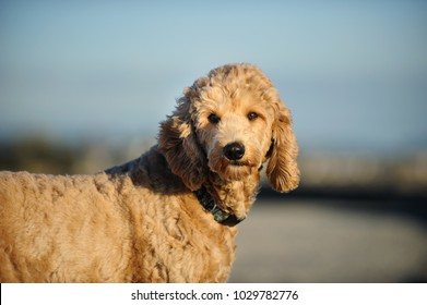Goldendoodle cross-breed dog outdoor portrait