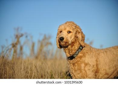 Goldendoodle cross-breed dog outdoor portrait in field