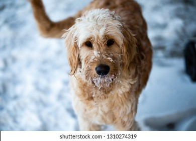 A Goldendoodle does what he can to get as much snow on his face as possible