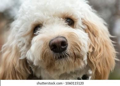 Goldendoodle dog close up head shot