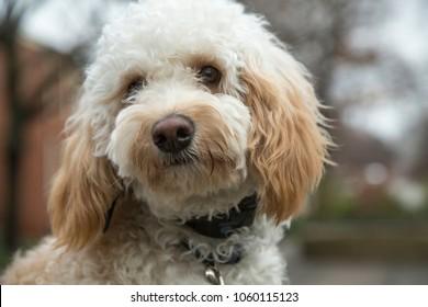 Goldendoodle dog close up head shot sad look