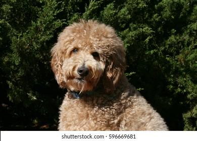 Goldendoodle Dog Face