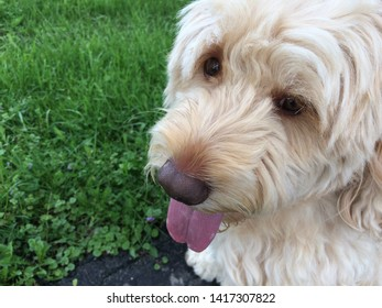 goldendoodle dog in the grass