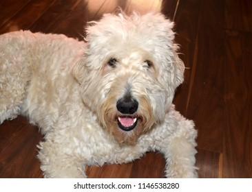 Goldendoodle dog on floor