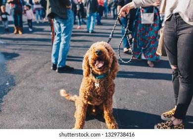 Goldendoodle Dog at Outdoor Festival
