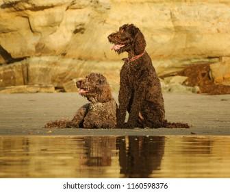 Goldendoodle dog outdoor portrait