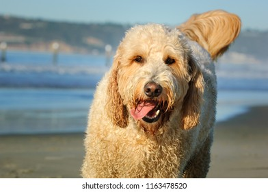 Goldendoodle dog outdoor portrait at beach