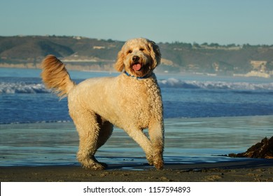 Goldendoodle dog outdoor portrait by oceean