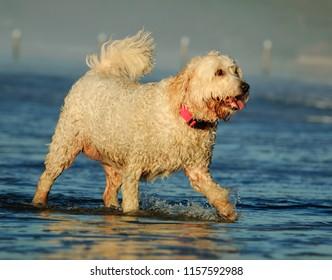 Goldendoodle dog outdoor portrait walking through water