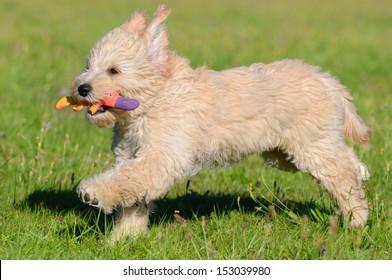 Goldendoodle Dog puppy 3 months designer dog, Poodle , Golden Retriever,