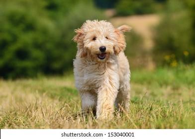 Goldendoodle Dog puppy 3 months designer dog, Poodle , Golden Retriever, breed,