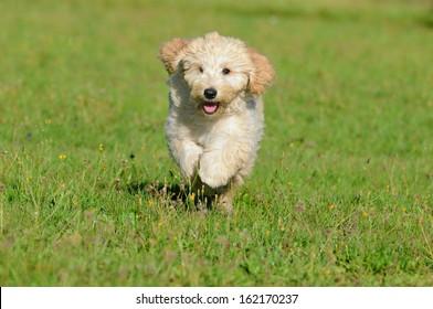 Goldendoodle Dog puppy 3 months designer dog, Poodle , Golden Retriever