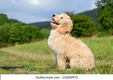 Goldendoodle Dog puppy 3 monthsdesigner dog, Poodle , Golden Retriever,