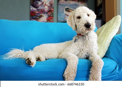 Goldendoodle dog resting on couch