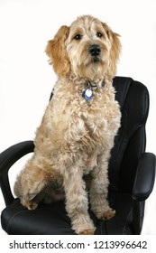 A goldendoodle dog sitting on a black office chair with a white background.
