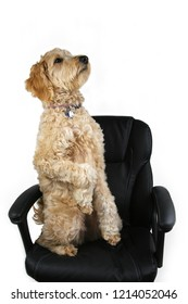 A goldendoodle dog sitting up on a black office chair with a white background.