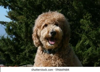 Goldendoodle Dog Smiling