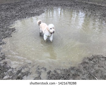 Goldendoodle Dog standing in mud puddle