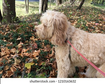 Goldendoodle in the fall leaves