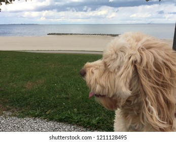 goldendoodle at Maumee Bay