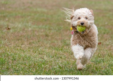 Goldendoodle in outdoor environment 02